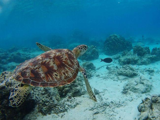 Underwater Turtle Sea Life Sea Turtle Animal Wildlife No People INDONESIA Swimming Diving Nature Outdoors Gili Trawangan