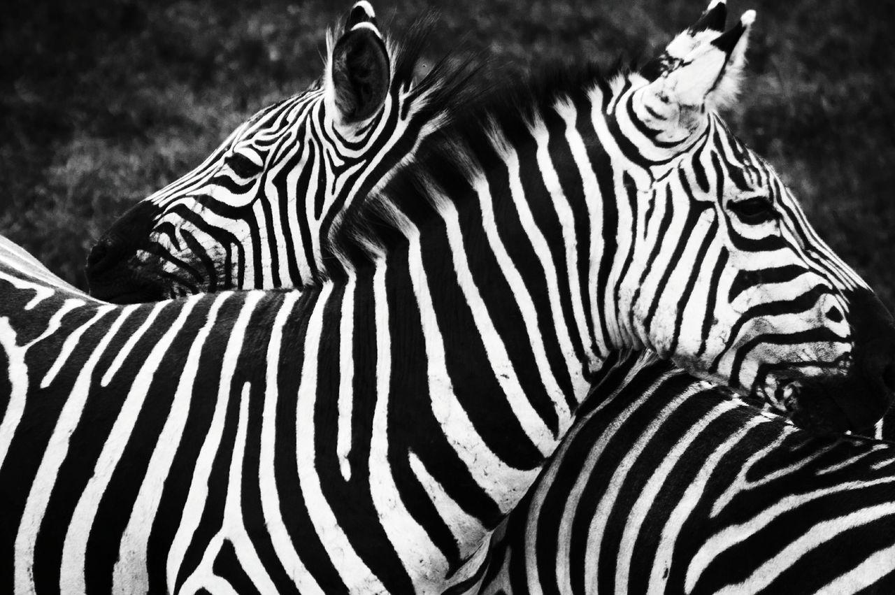 Striped Zebra Animal Themes Black & White Photography Contrasts Contrast Blackandwhitephotography Tanzania Zebra Serengeti National Park Animals In The Wild Animals In The Wild No People Mammal Animal Animal Markings Outdoors Animal Wildlife Safari Animals Day Nature Close-up