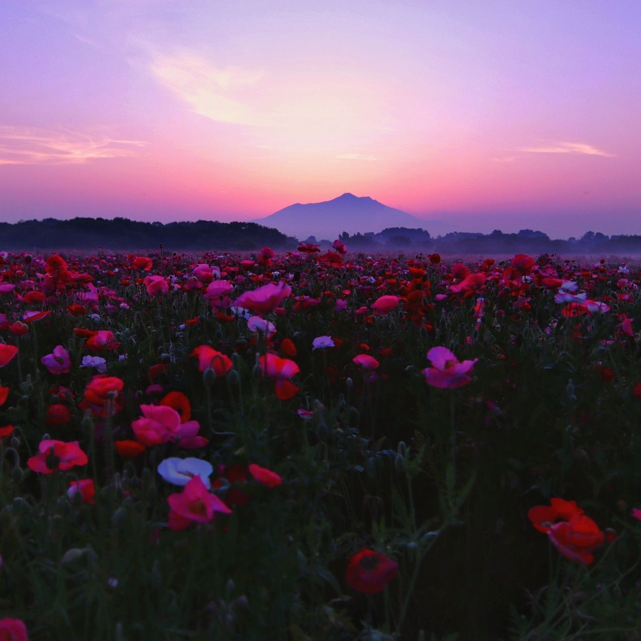 flower, nature, beauty in nature, growth, sunset, plant, tranquility, freshness, outdoors, sky, fragility, no people, field, purple, petal, scenics, tranquil scene, blooming, pink color, flower head, landscape, day