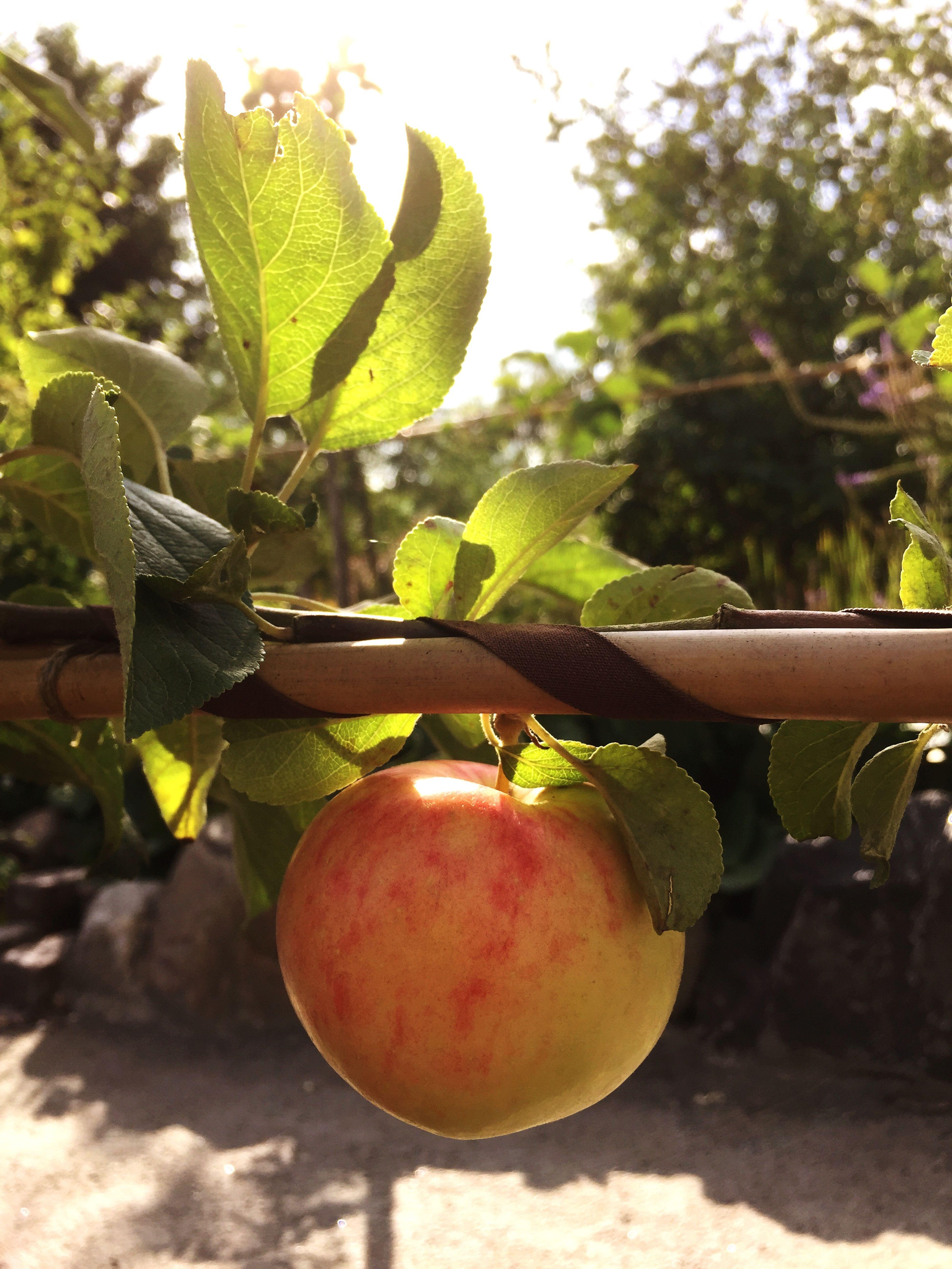 Apple Garden Gardening Espalier Flowers,Plants & Garden Apple Tree Summer Summertime