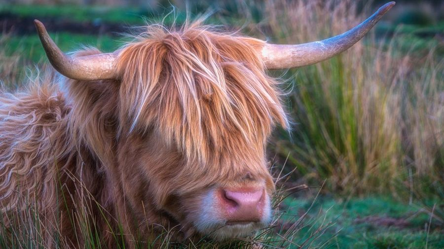 ~Bad hair day~... One Animal Animal Themes Mammal Close-up Animal Hair Focus On Foreground Livestock Highland Cattle Nature Countryside Malephotographerofthemonth LumixG80 Colourful Beauty In Nature Streamzoofamily Rural Scene Taking Photos Peak District
