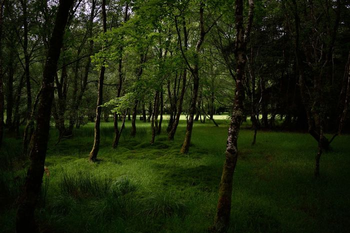 Calming Green Ireland🍀 Lightbeams Nature Peaceful Shade The Forest Tranquility