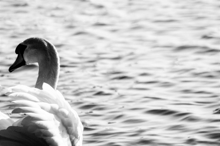 Bird Water Animal Swan Swimming Rear View Close-up Animal Themes Lake Nature Day No People Outdoors Animals In The Wild Blackandwhitephotography Black And White Photography Bwphotography Feathers Of A Bird