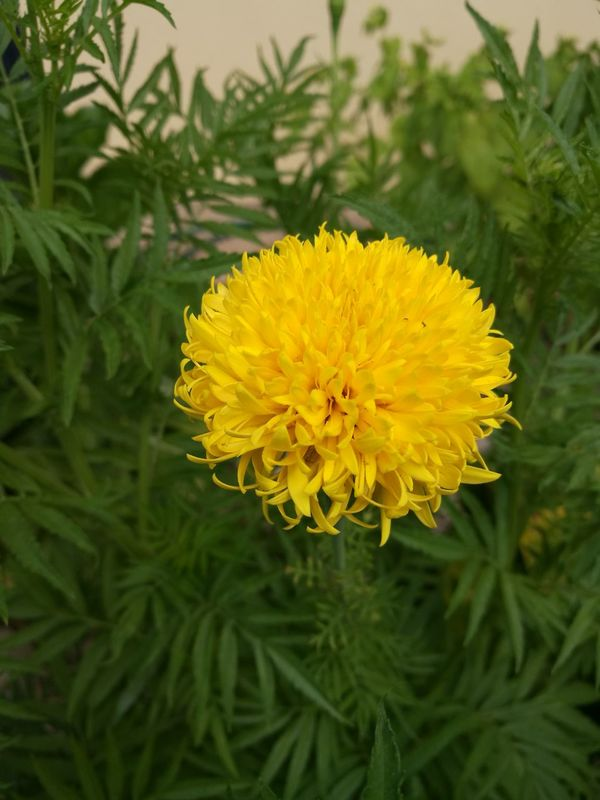 Yellow Flower Nature Fragility Plant Beauty In Nature No People Growth Outdoors Freshness Flower Head Close-up Day Tree Yellow Color Perfect Nature Photography Petal