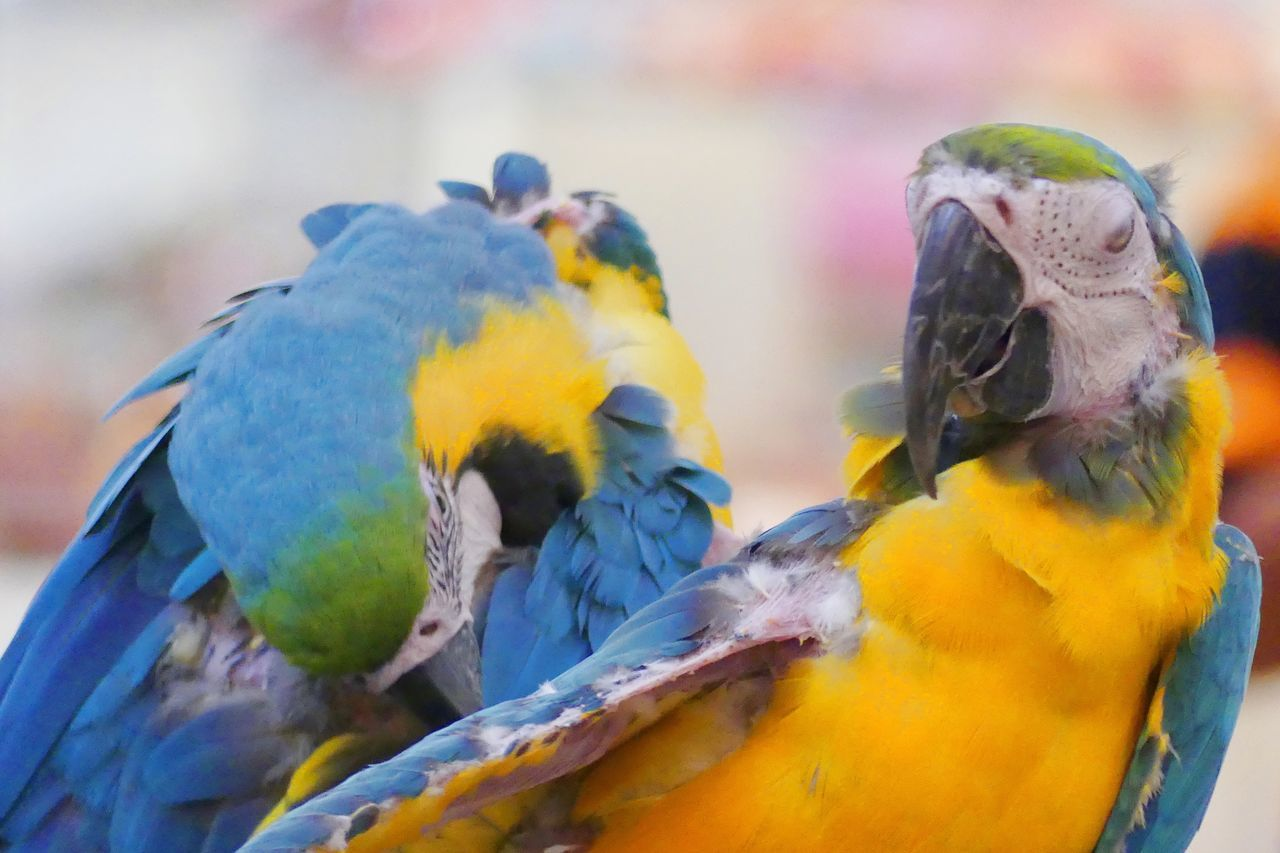 Parrots in Relex Together Animal Themes Animal Wildlife Animals In The Wild Beauty In Nature Bird Blue Close-up Day Focus On Foreground Gold And Blue Macaw Lovebirds Nature No People Parrot Parrot Bird Parrot Lover Parrots Parrots On Tree Parrots Restaurant Parrot❤ Perching Togetherness นก นกสวยงาม นกแก้ว