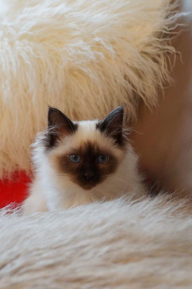 Goodnight , sweet dreams Sacredebirmanie Birman  Cat Lovers Cat Beautiful France