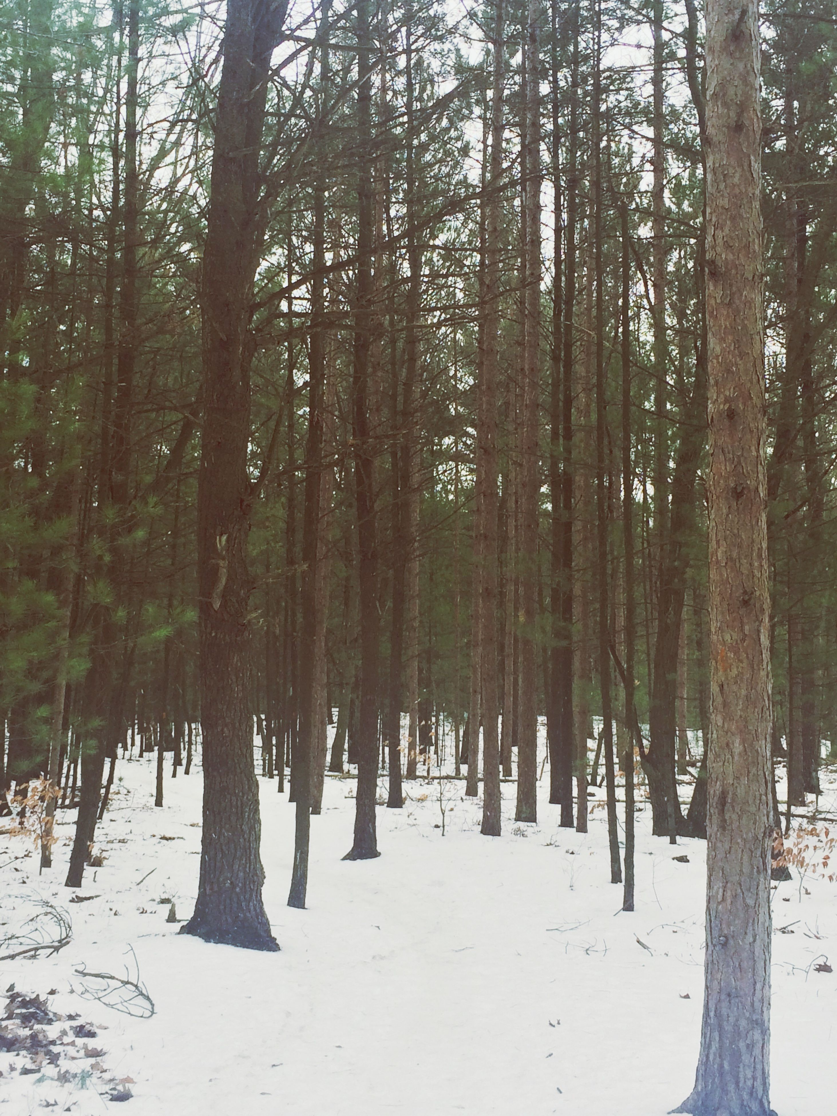 tree, tree trunk, forest, woodland, tranquility, tranquil scene, nature, winter, snow, cold temperature, beauty in nature, growth, scenics, landscape, non-urban scene, season, day, outdoors, abundance, weather