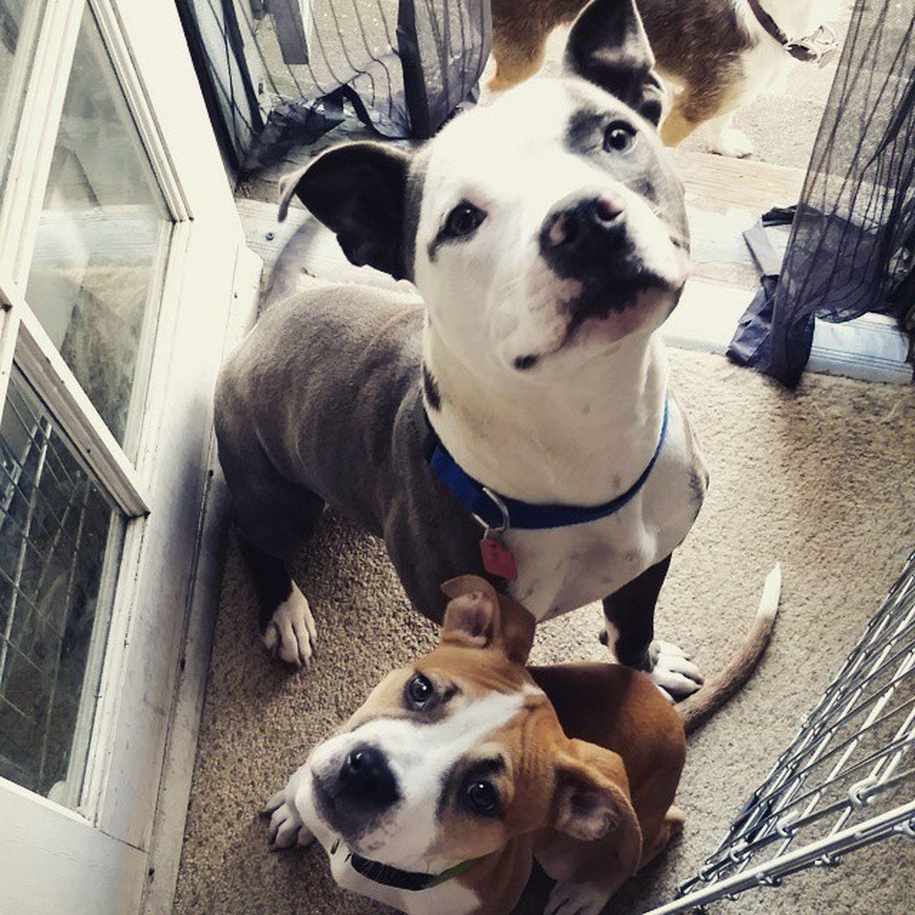 BaBr Bayareabulliesrescue foster pups amos and burrito