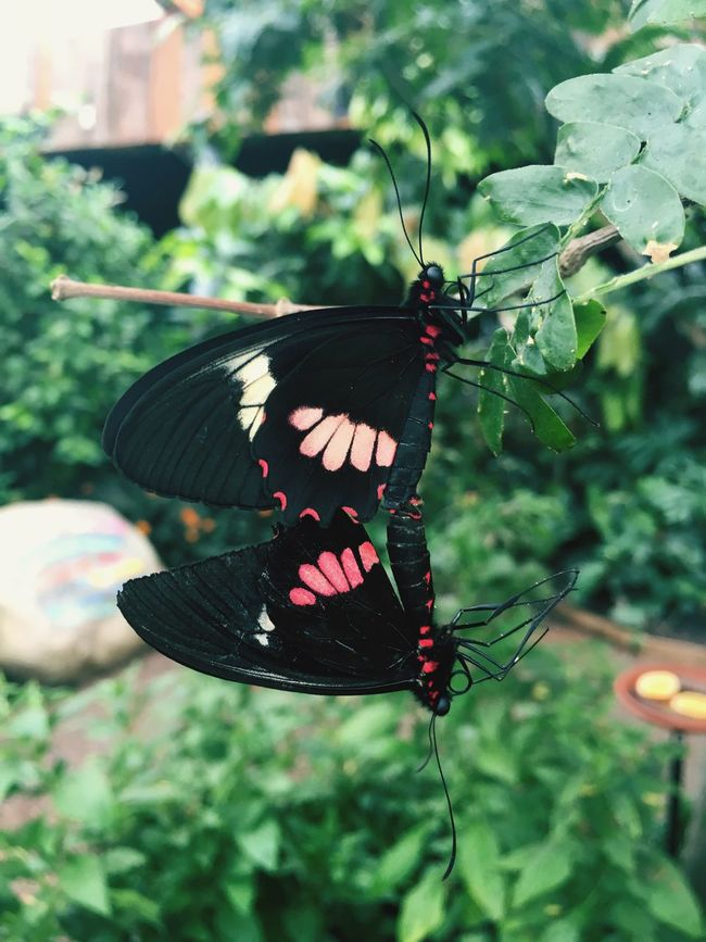 The lovers Butterflies Butterfly Black And Red Nature Patterns Together Joined Flying Insects  Whipsnade Zoo Learn & Shoot: Balancing Elements