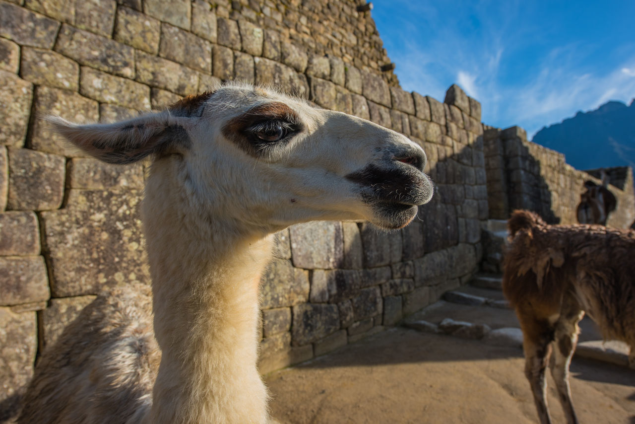 animal themes, llama, mammal, domestic animals, outdoors, day, architecture, livestock, built structure, no people, building exterior, old ruin, one animal, alpaca, travel destinations, nature, ancient civilization, sky, close-up