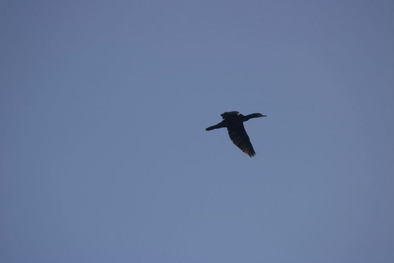 Bird in a Blue Sky flying above the Lake in Bois De La Cambre Uccle Brussels Belgium