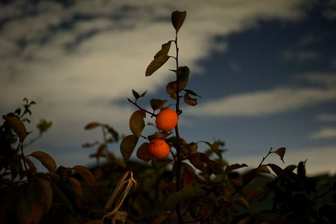 Japan Photos Persimmon Tree Clouds Night View Shillouette Urban Traveling Fresh Scent Snapshot Treepark Nature Light And Shadow 43 Golden Moments Eye4photography  Taking Photos Cloudpark Clouds And Sky Streamzoofamily