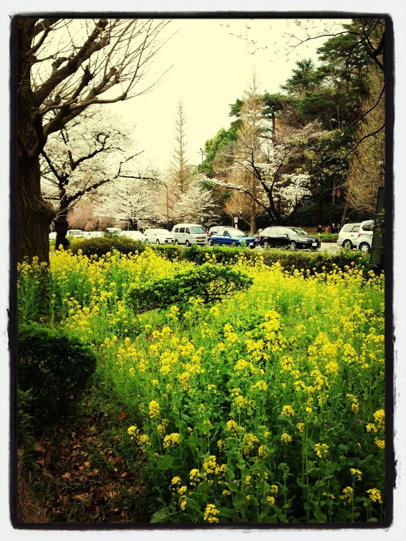 菜の花も桜に負けずきれいです。