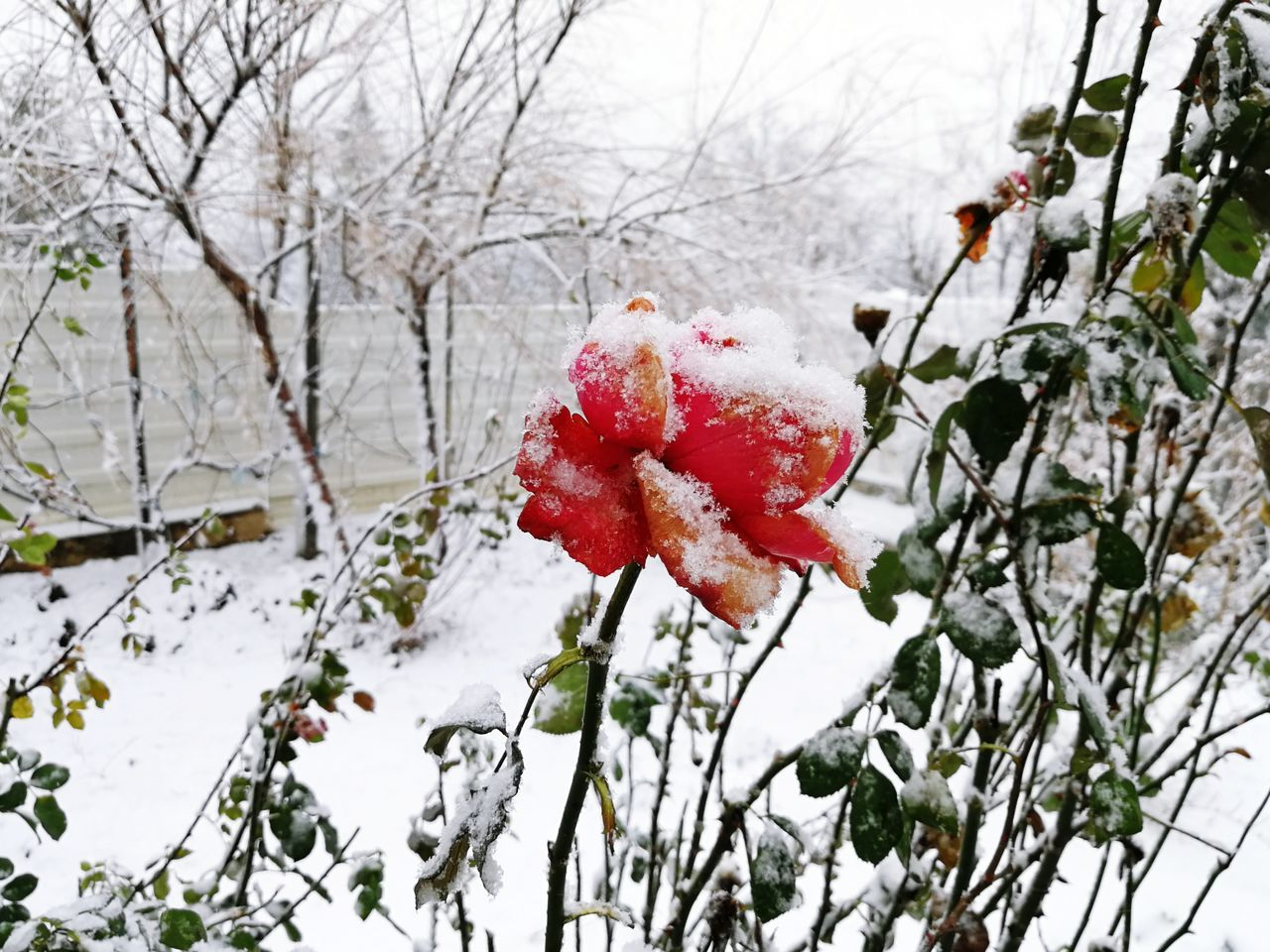 Red Rose Frozen Flower Frozen Rose Winter Winter In The Garden Snow Snowing Winter Snow Cold Temperature Red Nature Branch Tree