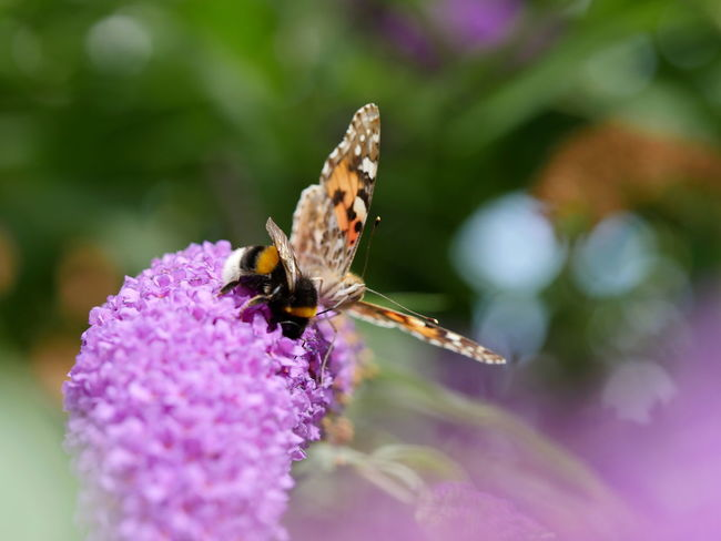 Hummel und Distelfalter Bumblebee Painted Lady Butterfly Animals Botany Flowers Fragility In Bloom Insect Lilac Flower Macro No People Outdoors Selective Focus Wildlife Close Up Close-up Bokeh From My Point Of View Pollination Beautiful Nature Taking Photos