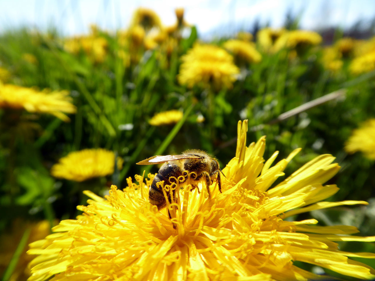 flower, yellow, nature, animal themes, animals in the wild, insect, beauty in nature, fragility, growth, one animal, petal, animal wildlife, plant, flower head, no people, outdoors, day, focus on foreground, freshness, bee, close-up, pollination