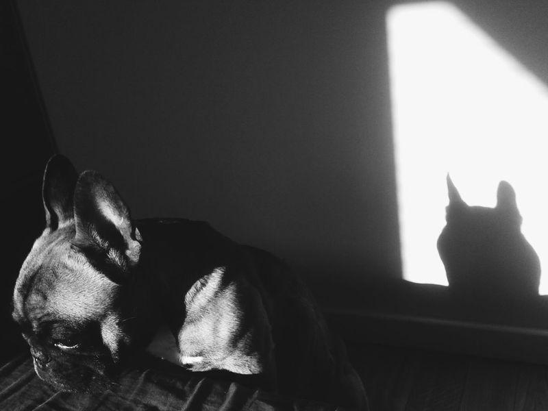 Charlie Frenchbulldog Frenchie Dog
