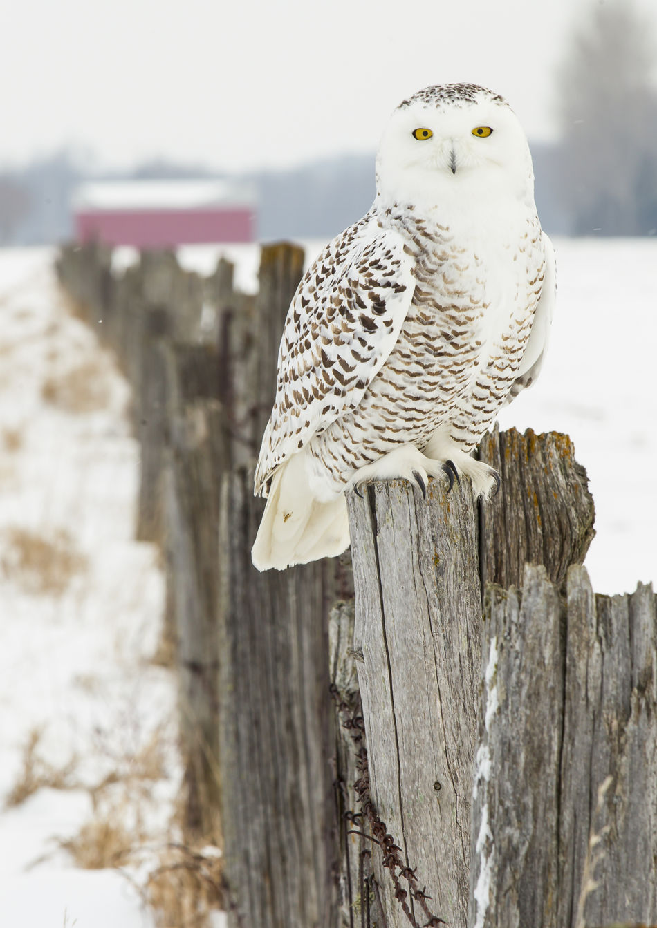 Snow owl posing Animal Themes Animal Wildlife Animals In The Wild Bird Bird Of Prey Close-up Day Fence Post Focus On Foreground Mourning Dove One Animal Outdoors Owl Snow Owl