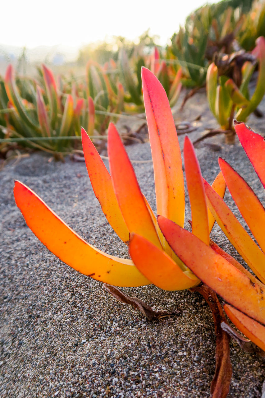 growth, aloe vera plant, nature, beach, beauty in nature, outdoors, close-up, no people, sand, plant, focus on foreground, freshness, day, bird of paradise - plant