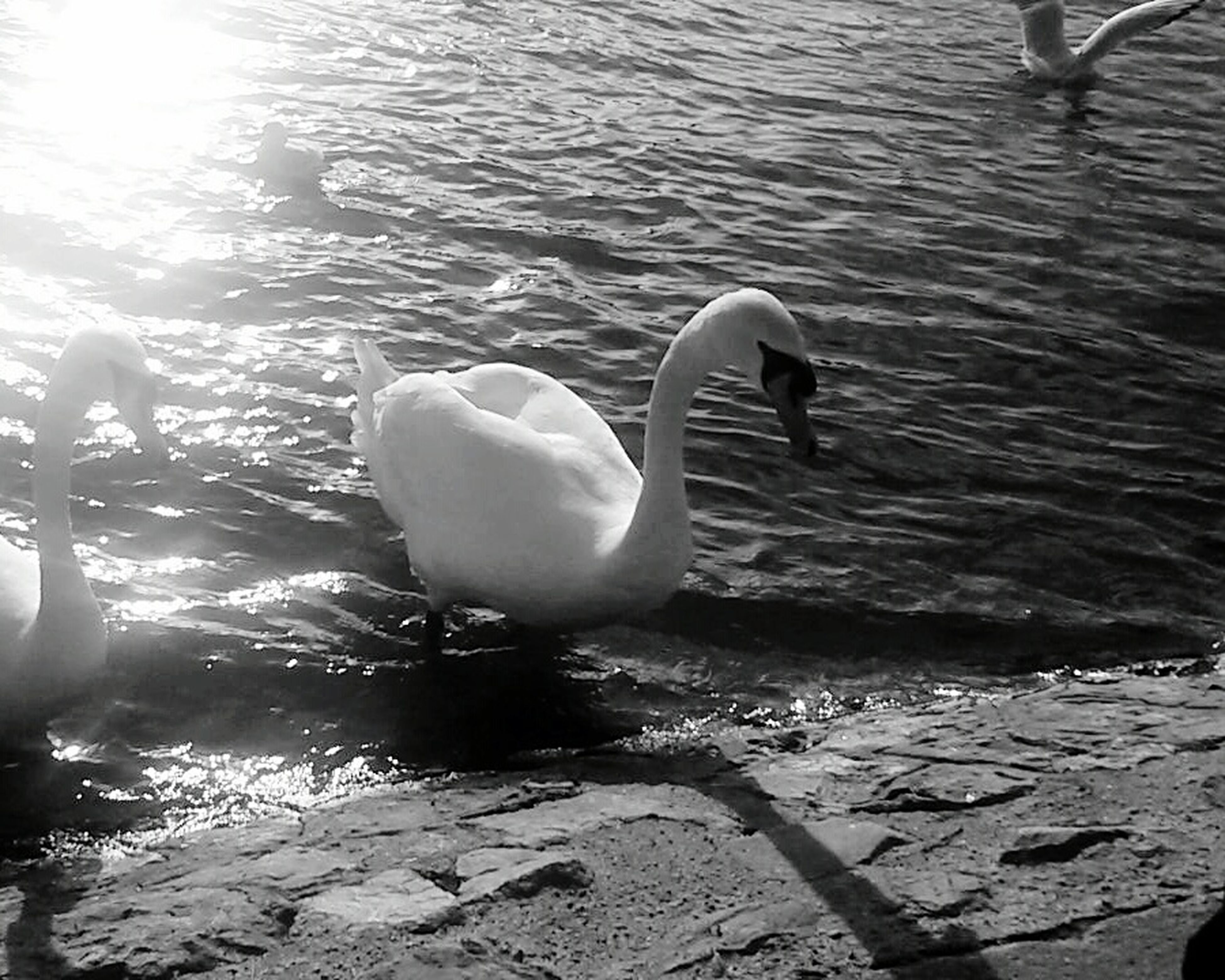 water, swan, bird, animal themes, lake, wildlife, swimming, animals in the wild, rippled, white color, reflection, high angle view, nature, water bird, sunlight, floating on water, beauty in nature, waterfront, outdoors, one animal