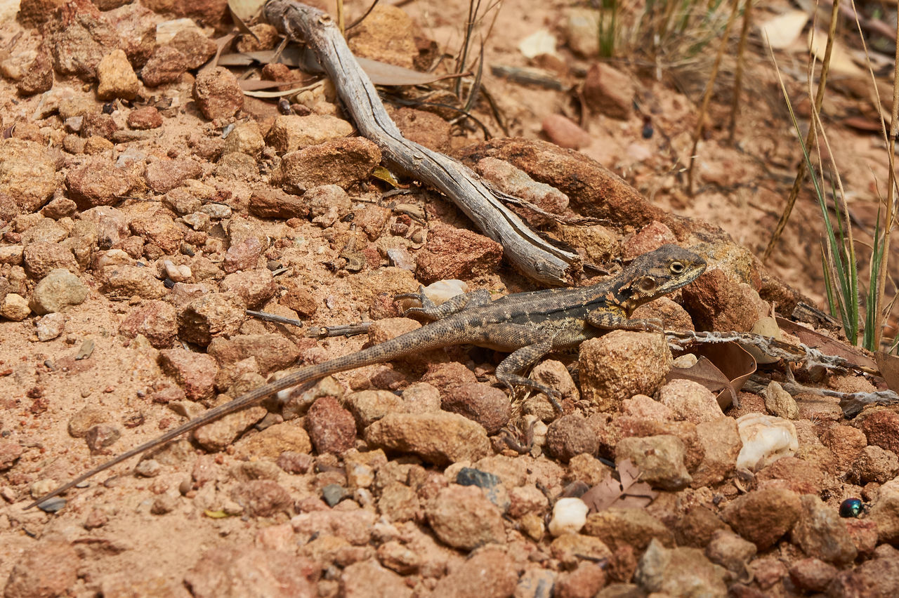 reptile, no people, animal themes, animals in the wild, animal wildlife, nature, one animal, day, outdoors, close-up