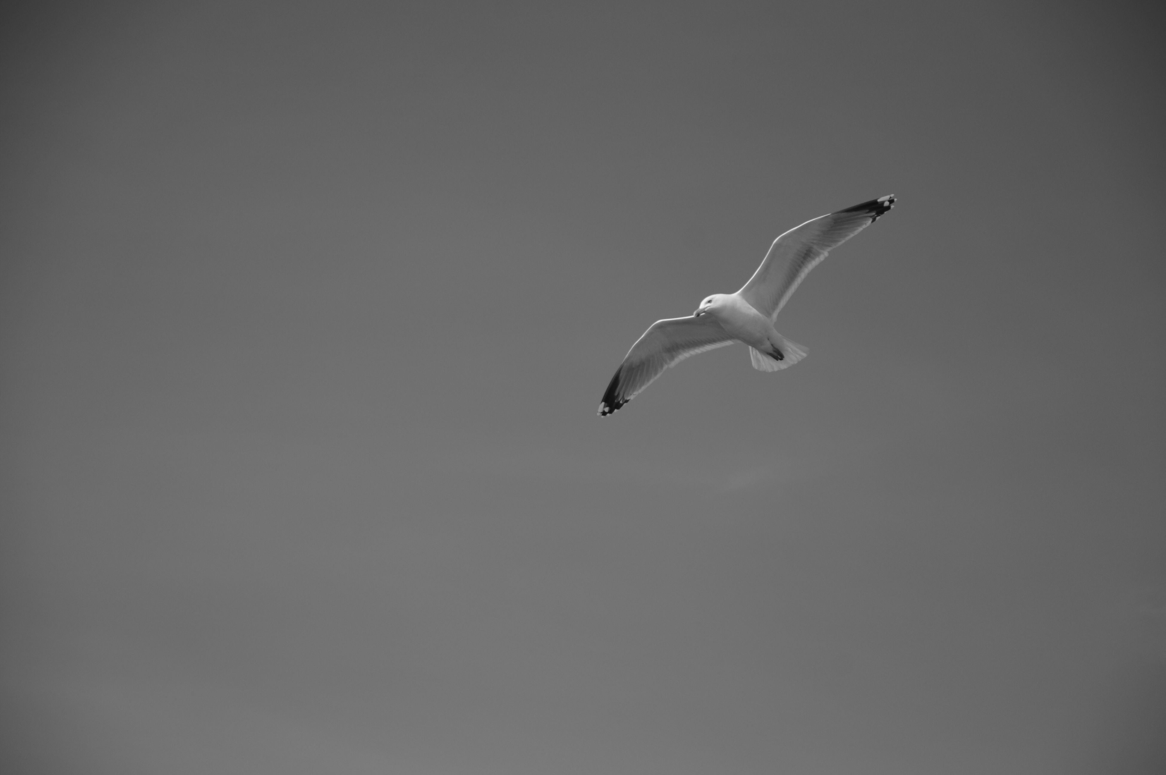 one animal, flying, animals in the wild, mid-air, animal themes, spread wings, copy space, bird, animal wildlife, nature, low angle view, motion, no people, day, outdoors, clear sky, beauty in nature, full length, swan, sky