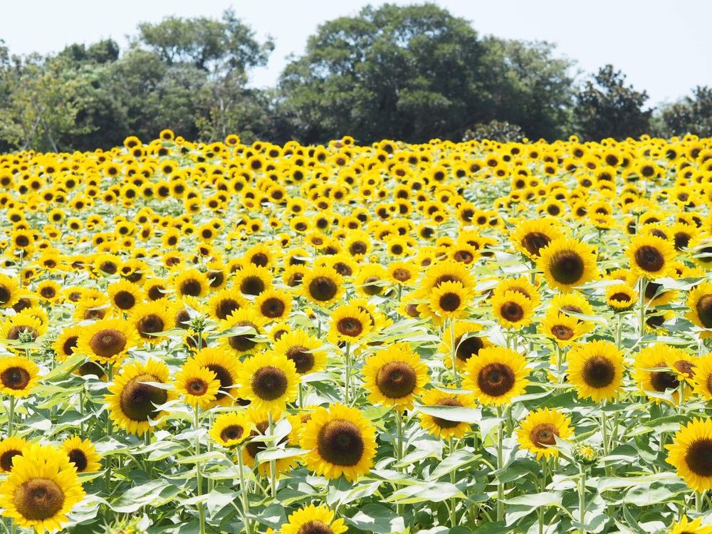 Japan Hyogo Hyogo,japan Awaji Yellow Flower Growth Fragility Nature Beauty In Nature Outdoors Sunflower No People Day Flower Head Tree Close-up Freshness Sunflower August August 2016 Summer