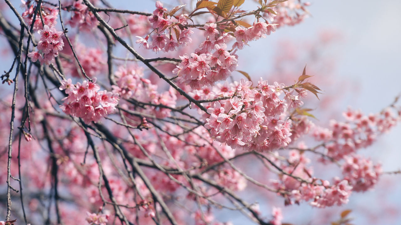 Cherry Blossom branches Beauty In Nature Blossom Branch Close-up Day Flower Flower Head Fragility Freshness Growth Nature No People Outdoors Pink Color Springtime Tree