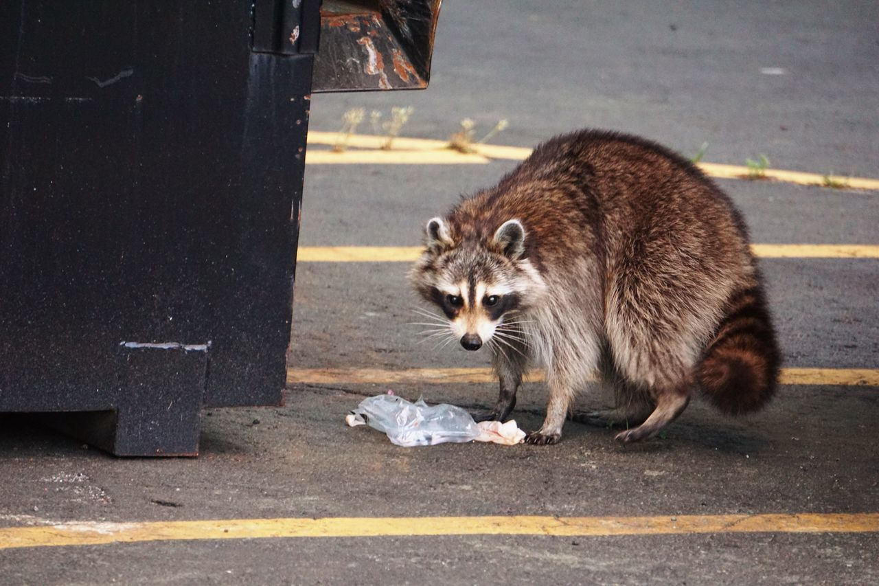 One Animal Mammal Road Animal Themes Outdoors Day No People Trash Wildlife Wildlife & Nature Scavenger Scavenging Eating Marauder Dumpster Raccoon Dumpsterdiving Nature Animals In The Wild