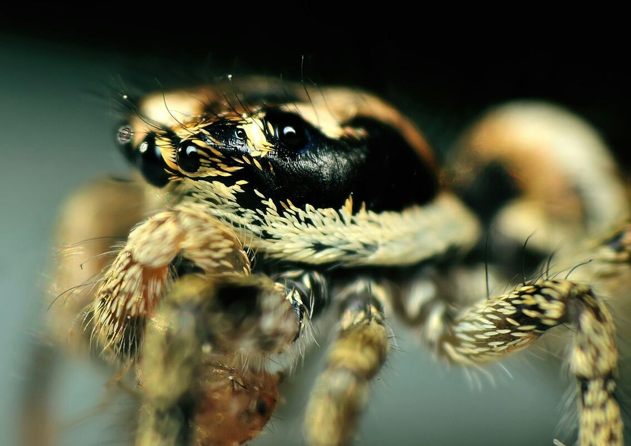 animal themes, animals in the wild, one animal, spider, insect, jumping spider, animal wildlife, close-up, selective focus, no people, nature, day, indoors