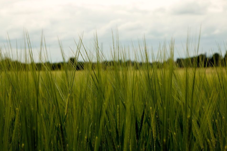 Growth Nature Grass Field Crop  Agriculture Day Tranquility Cereal Plant Wheat Tranquil Scene Green Color Ear Of Wheat Beauty In Nature Sky Plant Outdoors No People Rural Scene Scenics Exceptional Photographs Green Color Hello World EyeEm Masterclass Eye4photography