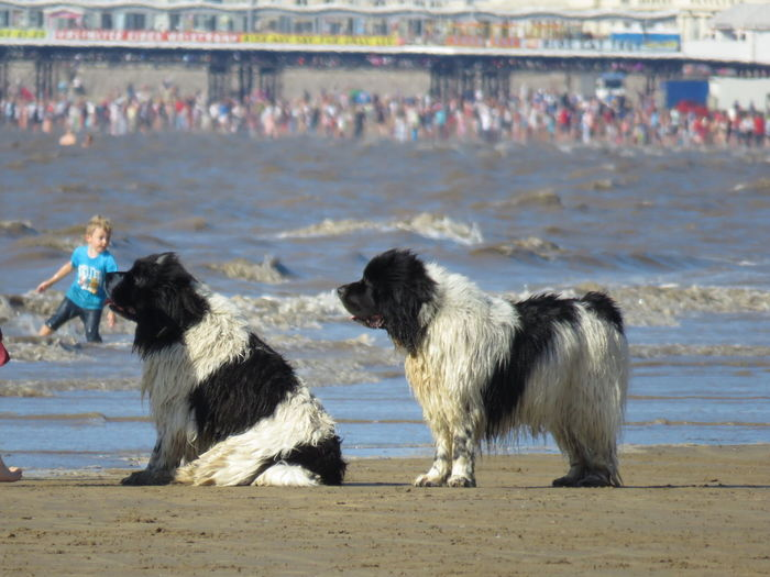 Dog Domestic Animals Pets Water Beach Togetherness Shore Sea Summer Wave Animal Behavior Let The Picture Tell Two Stories Watching And Waiting Camera Ready Taking Photos Weston-super-mare Somerset England Ocean Seascape Beautiful Dogs Dogs Of EyeEm Dogs On Beach