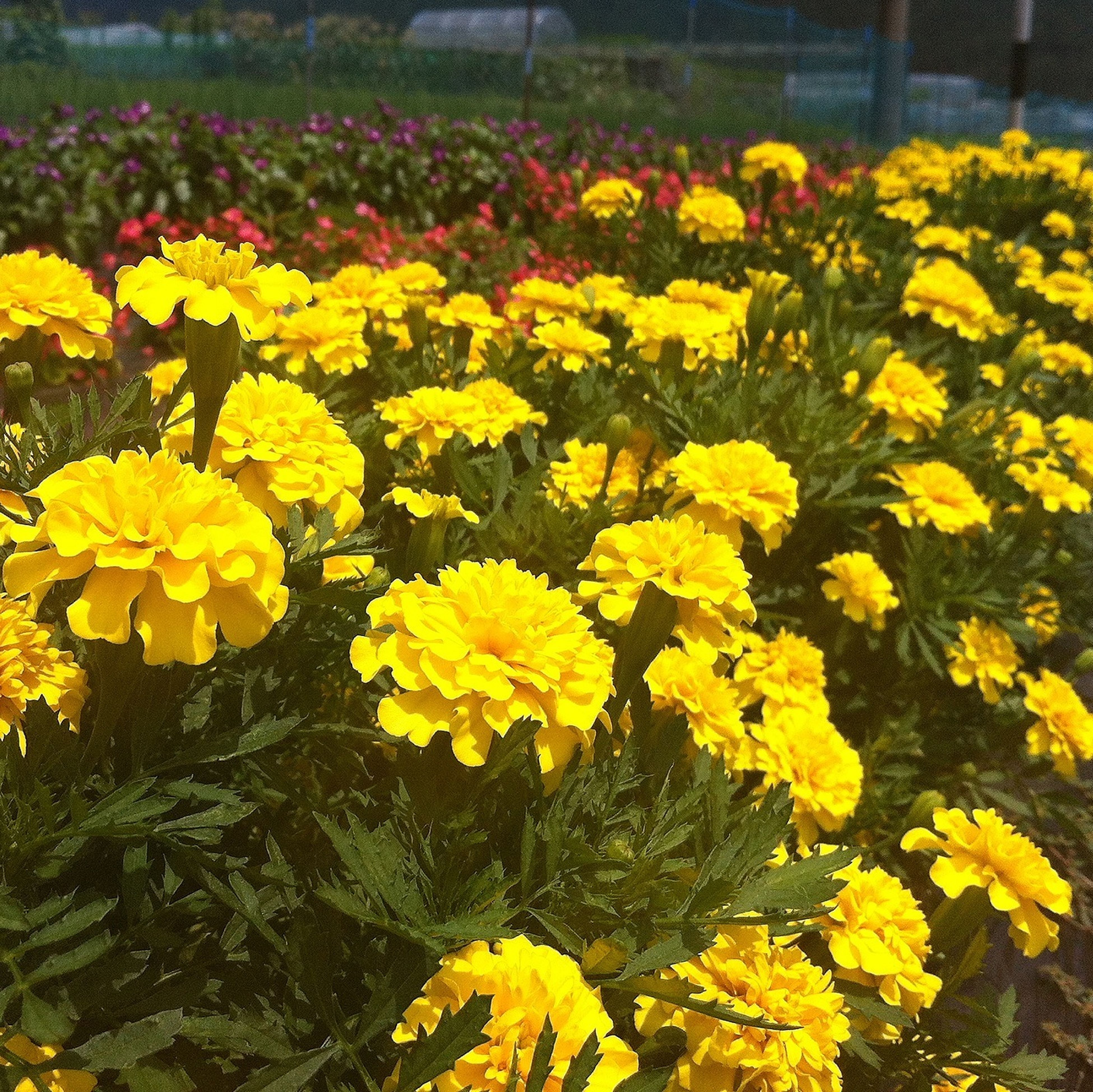 flower, yellow, freshness, fragility, growth, beauty in nature, petal, abundance, nature, blooming, plant, field, flowerbed, flower head, high angle view, in bloom, blossom, springtime, outdoors, park - man made space