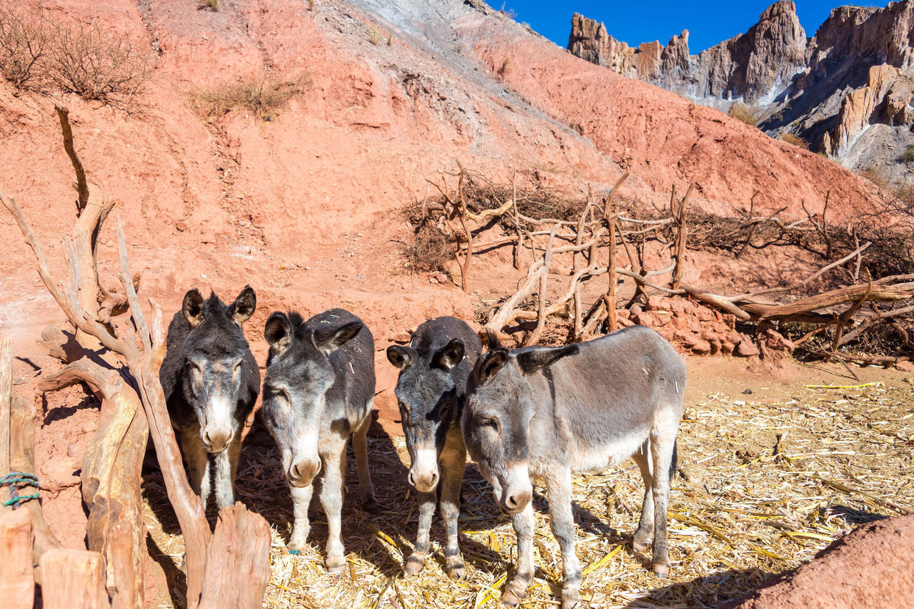 Closeup of four small donkeys surrounded by dramatic colorful hills near Tupiza, Bolivia Amazing Andes Beauty Bolivia Cactus Canyon Color Countryside Desert Destination Donkey Donkeys Formation Formations High Hills Landscape Mountain Nature Rock Rocks South America Travel TUPIZA Valley