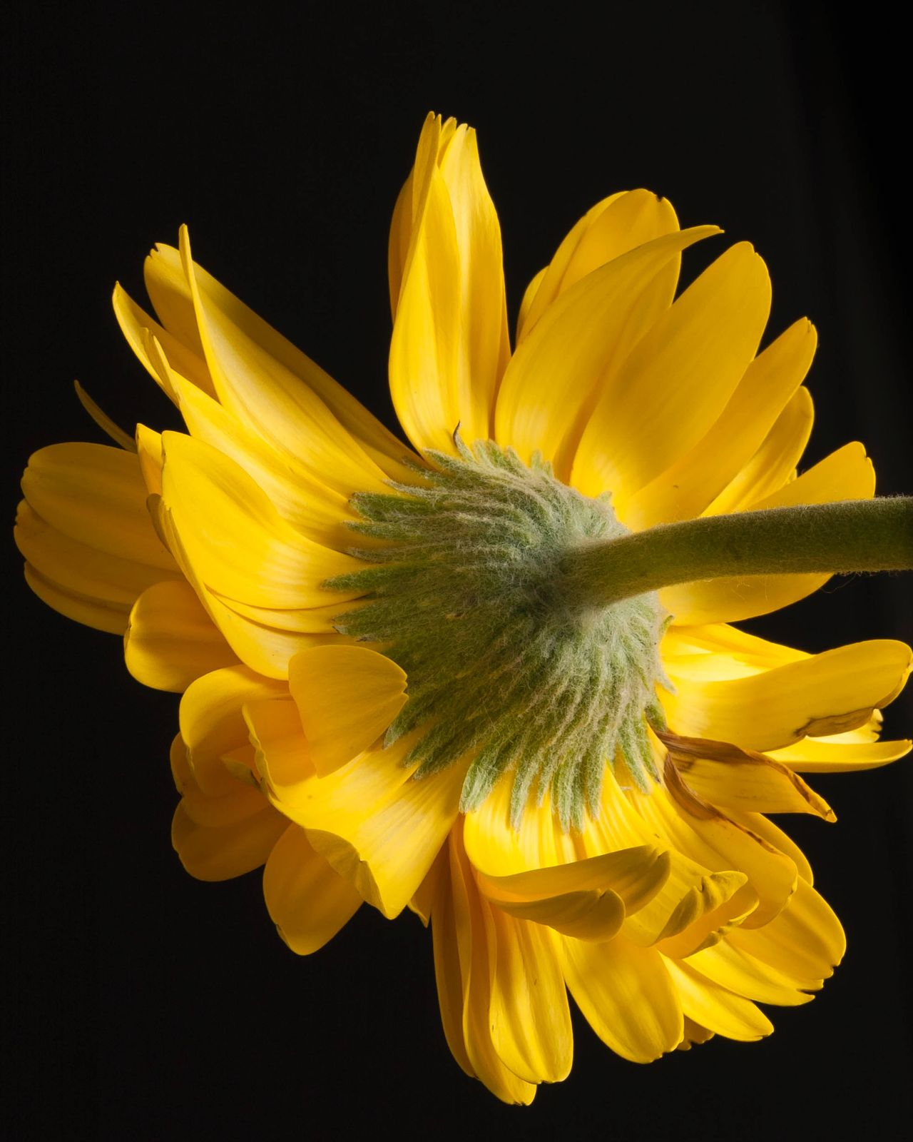 Sometimes turning things over gives a fresh perspective Beauty In Nature Black Background Close-up Copy Space Cut Out Flower Flower Head Fragility Fresh Perspective Freshness Nature No People Petal Single Flower Studio Shot Yellow