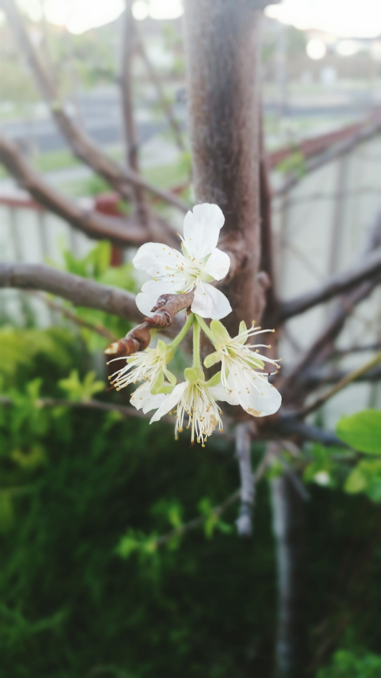 Flower Growth Close-up Focus On Foreground Beauty In Nature Tree Trunk In Bloom Blossom Outdoors Flower Head Branch Nature Apricot Blossoms Apricot Tree Selective Focus Flower Photography