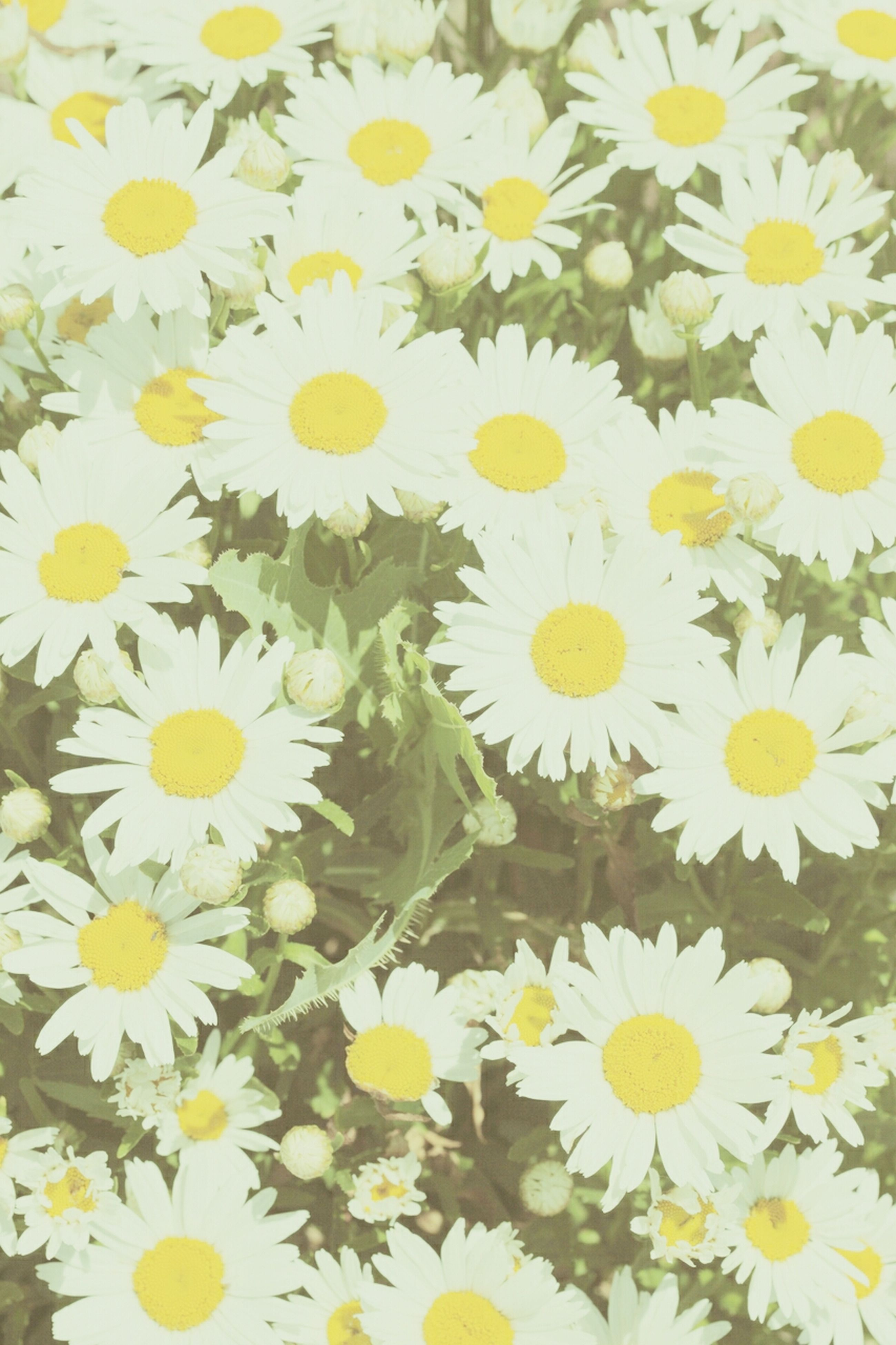 flower, petal, freshness, fragility, flower head, yellow, beauty in nature, growth, daisy, full frame, blooming, nature, backgrounds, white color, high angle view, plant, abundance, pollen, in bloom, close-up
