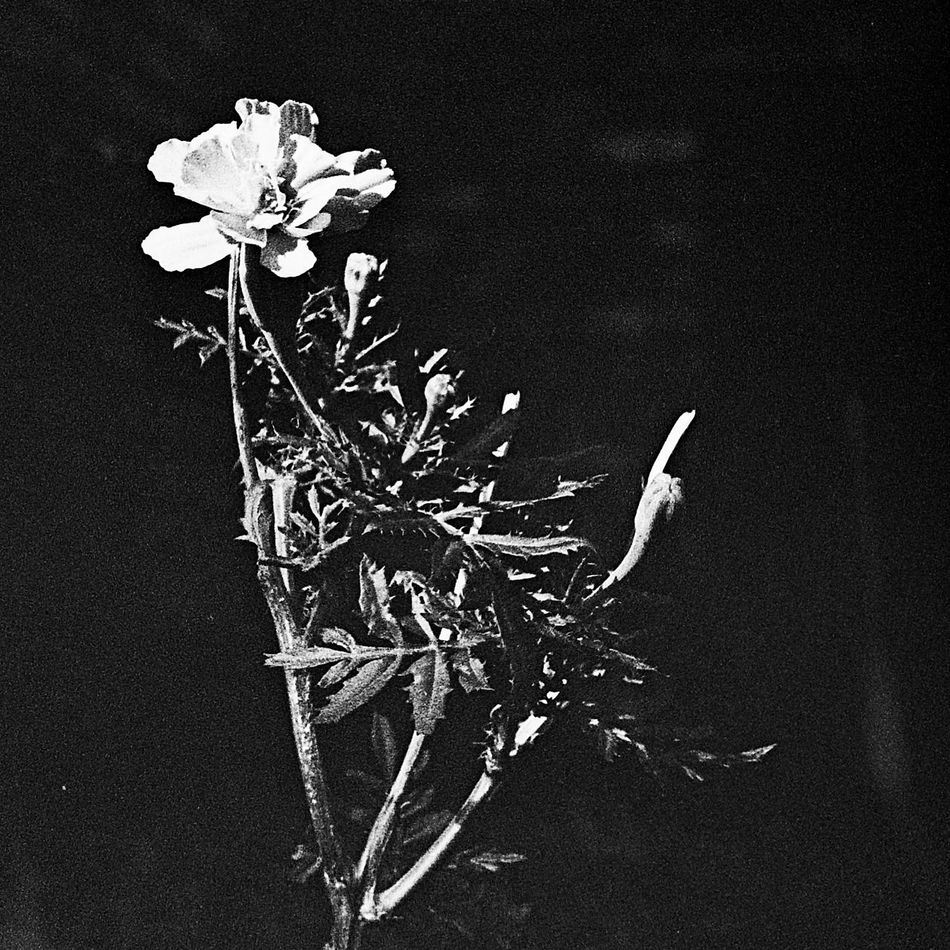 Nature Fragility Outdoors Day Flower Close-up No People Black And White Photography 35mm Film 35mmfilmphotography Black & White Black Backround