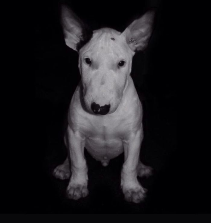 Dog Love Bull Bullterrier Bullylove Bulls ❤ Bully Dogstagram Dogs Dogslife Animals Pets Cut Pets Self Portrait Blackandwhite
