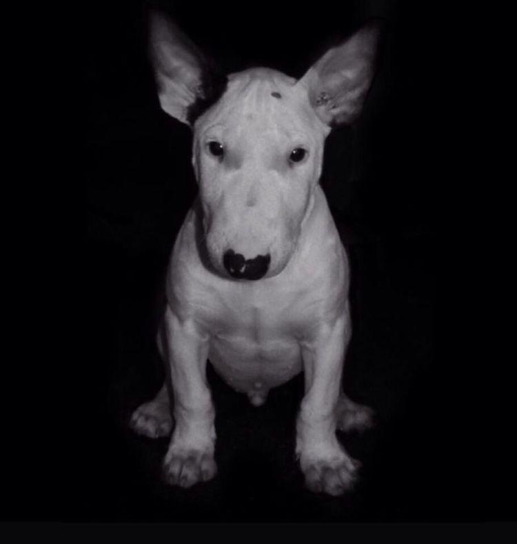 Dog Love Bull Bullterrier Bullylove Bulls ❤ Bully Dogstagram Dogs Dogslife Animals Pets Cut Pets Self Portrait Blackandwhite