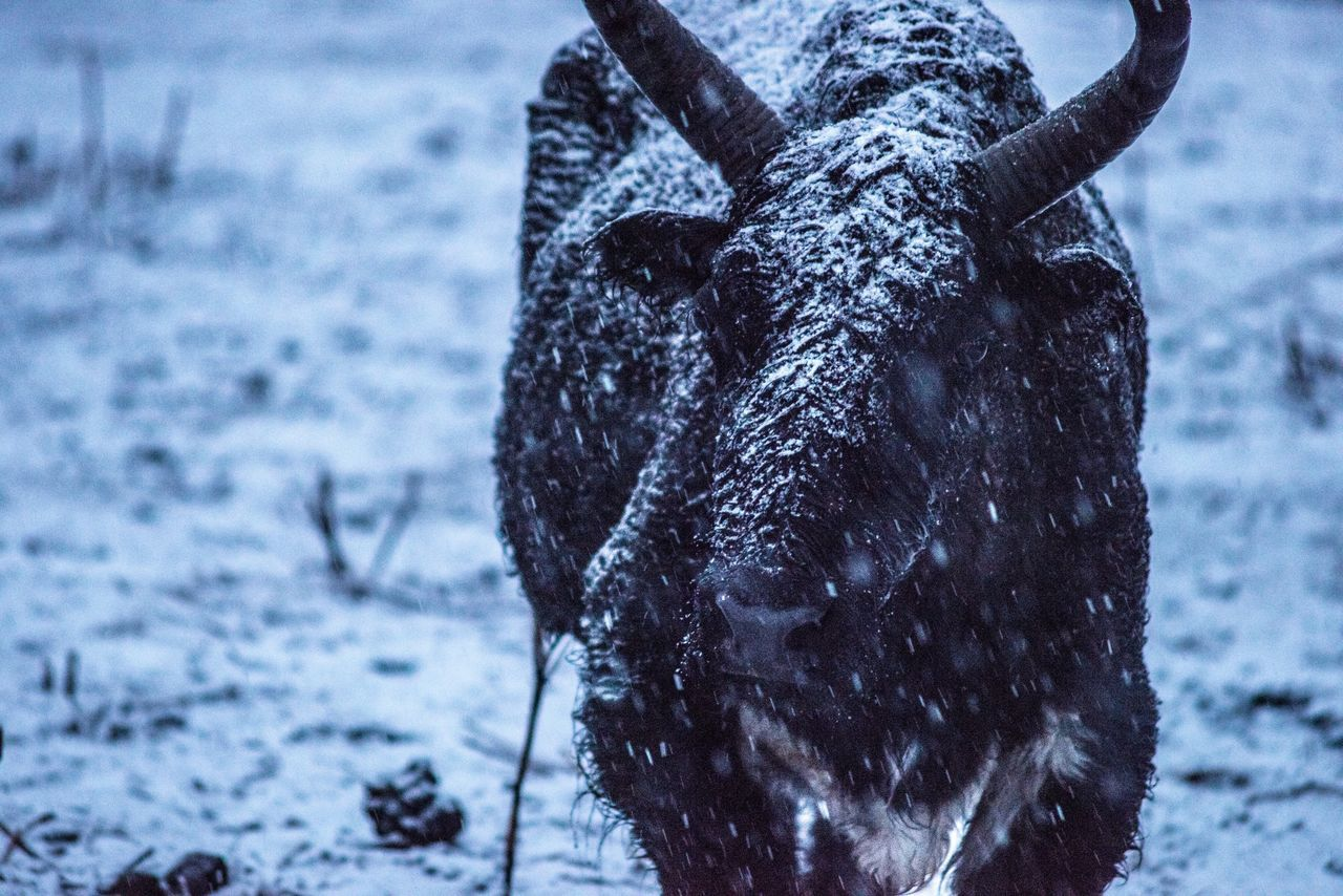 Yark Animals In The Wild Animal First Eyeem Photo Snow Spring Mountain