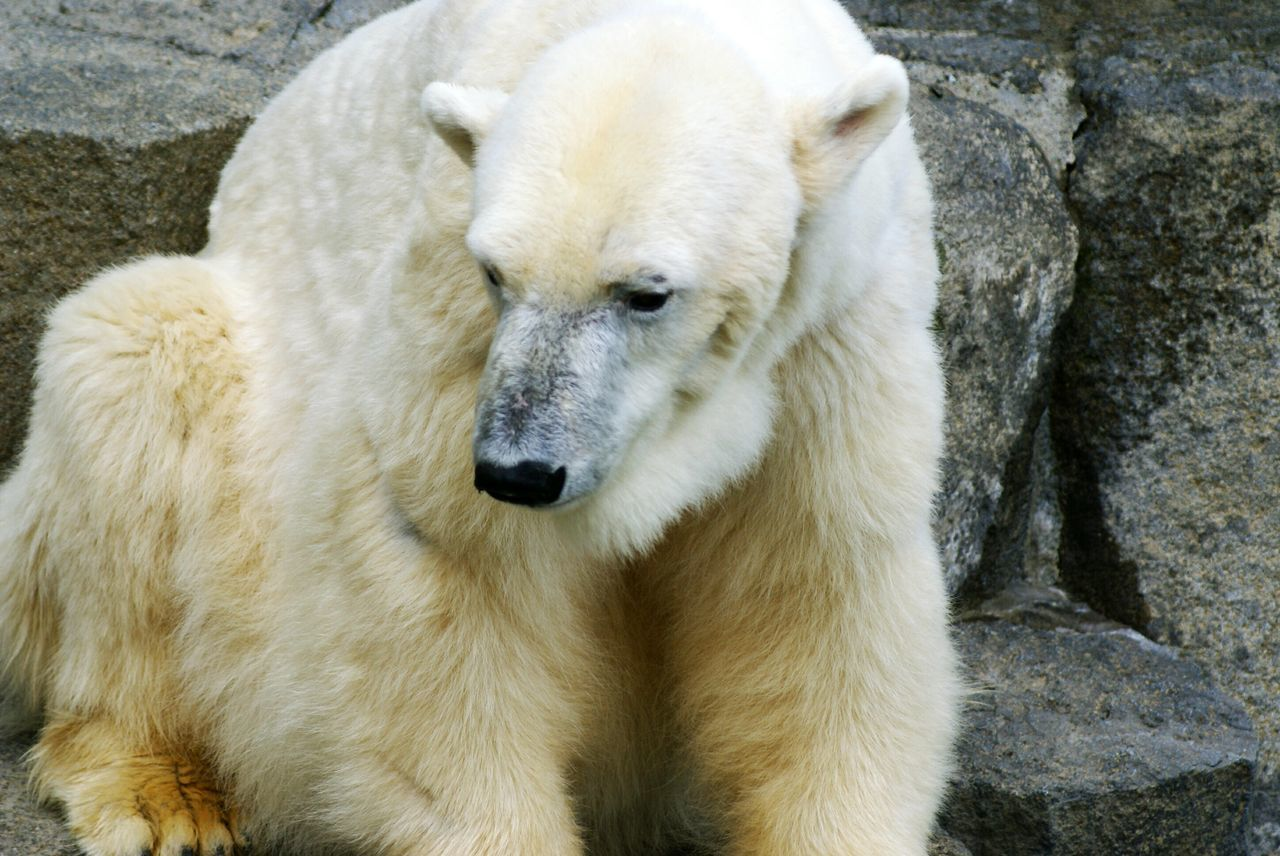 Beautiful stock photos of polar bear, Animal Hair, Animal Themes, Animals In Captivity, Day