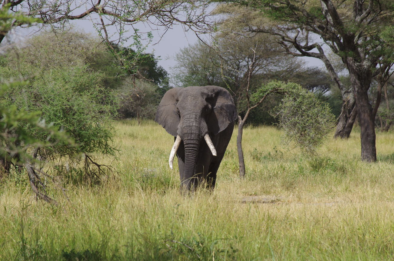 Africa African Elephant Animal Animal Themes Animal Wildlife Animals In The Wild Beauty In Nature Day Elephant Field Grass Growth Mammal Nature No People Outdoors Safari Tanzania Travel Travel Destinations Travel Photography Tree Tusk