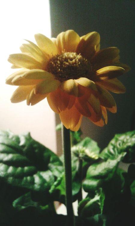 Fiori Fiore Gerbera Gerbera Gialla Giallo Fiore Giallo Luci E Ombre Pianta Plant Daisy Daisies Daisy Flower Light And Shadow Flower Flowers