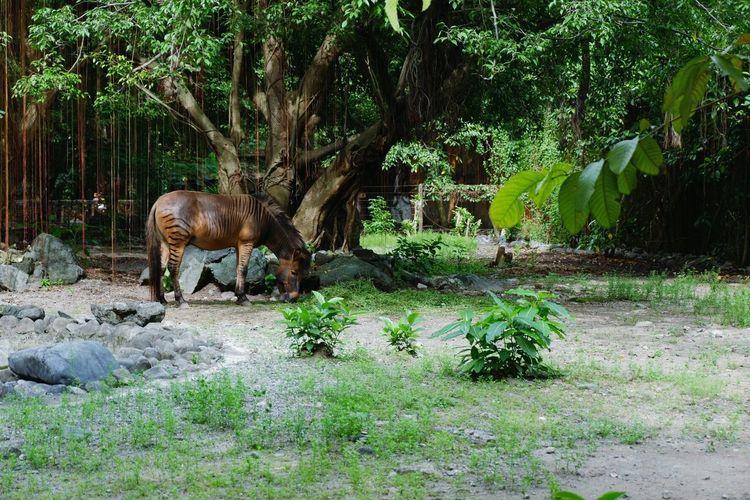 Manila Zoo Hebra Animals Fujifilm_xseries Fujifilm Fujifilm X-A3 Animal Wildlife Plant Nature No People Animals In The Wild Animal Themes Tree Day Fujifilmph Fujifilmphilippines