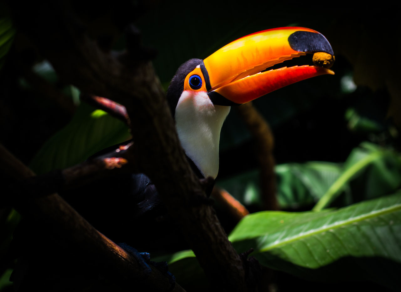 Animal Animal Body Part Animal Head  Animal Themes Avian Beak Beauty In Nature Close-up Day Focus On Foreground Green Green Color Multi Colored Nature No People Orange Color Outdoors Parrot Selective Focus Toucan Tucan Wildlife