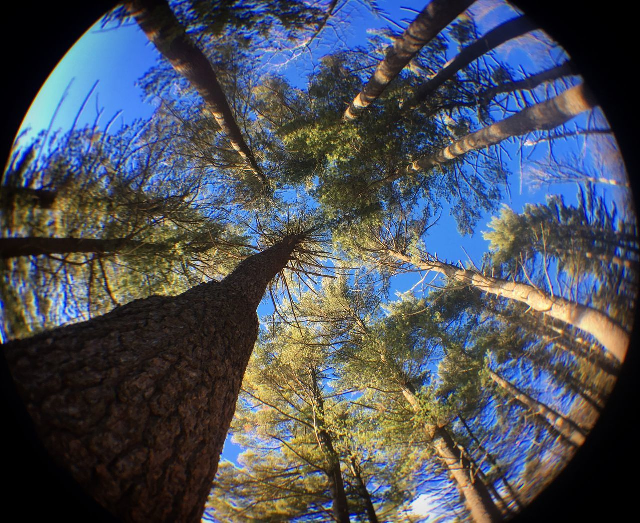 tree, tree trunk, low angle view, branch, autumn, nature, growth, leaf, beauty in nature, day, no people, outdoors, sky, fish-eye lens, close-up