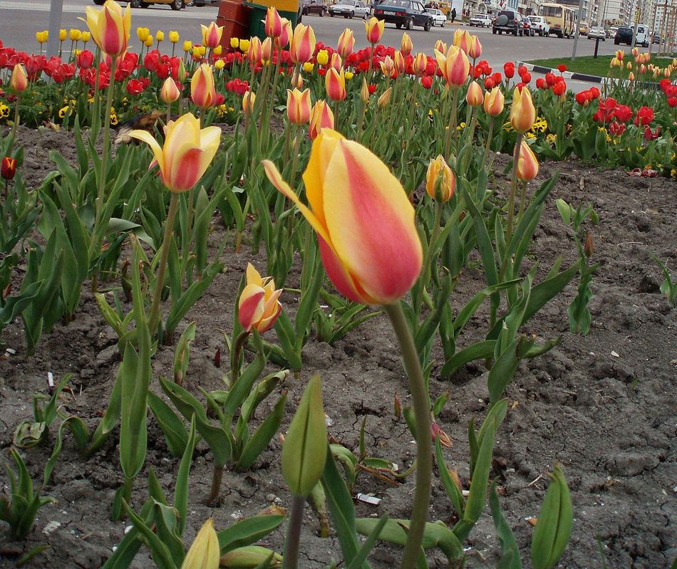 Auckland Flower Bed Flowers Novorossiysk Tulips Spring Spring Flowers Tulips Yellow & Red Striped Tulips