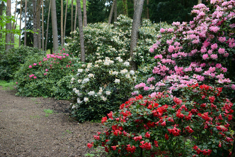pink Rhododendron bush bloom in springtime. path leading through park. Day Flower Footpath Garden Green Nature No People Outdoors Park Park - Man Made Space Path Pink Pink Color Plant Red Rhododendron Rhododendron Rhododendron Blossoms Rhododendronblossoms Rhododendroninbloom Rhododendrons Springtime Tree