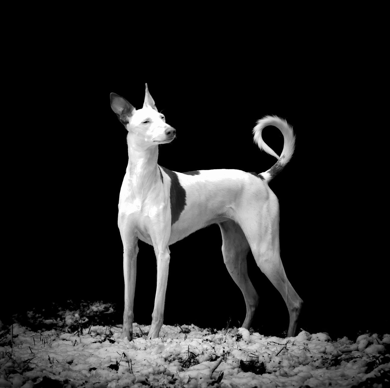 Animal Themes Beautiful Black Background Dog Ibizan Hound Mammal Night No People Outdoors Podenco Ibicenco